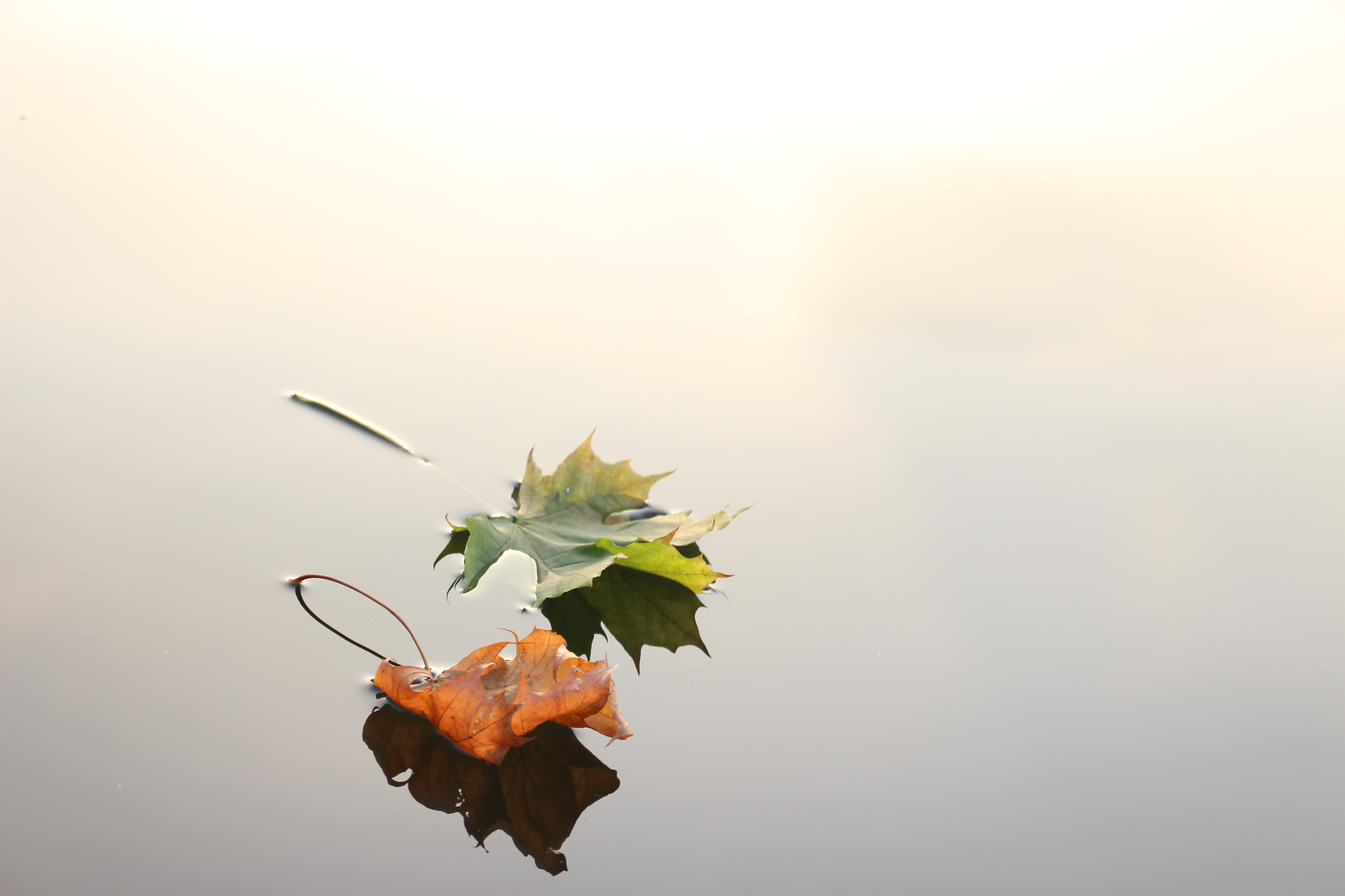 Two leaves floating on top of water